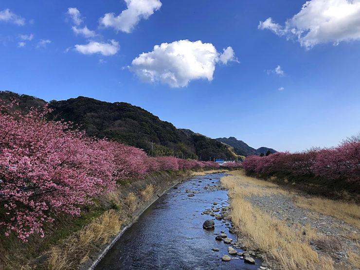 河津桜まつり 河畔 アクセス